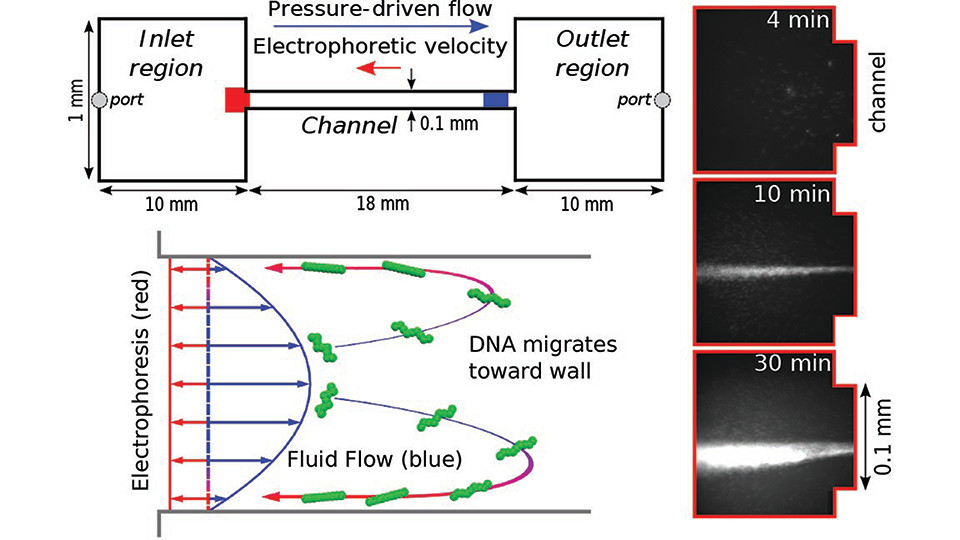 Electro-hydrodynamic migration drives the concentration of DNA