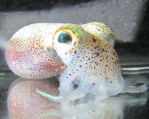 Hawaiian bobtail squid. Photo courtesy of UF/IFAS Jamie Foster from the Space Science Lab in Merrit Island
